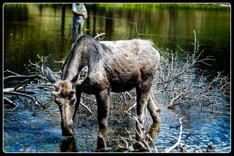 Moose on the Lake