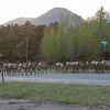 Elk crossing US 34. Ironically crossing at Elk Trail Ct.