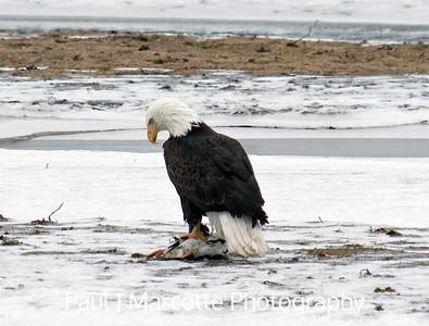 Bald eagle's successful hunt