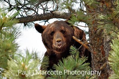 Big cinnamon bear