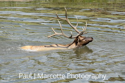 Bull elk swimming