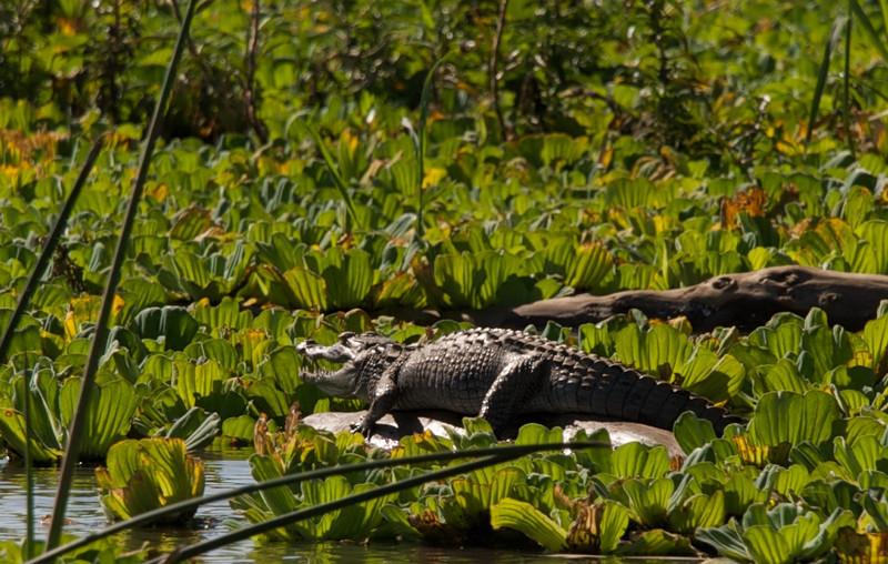 Baby croc sunbathing