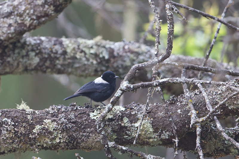 White-Backed Black Tit