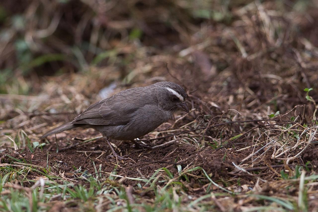 Brown-Rumped Seed-Eater