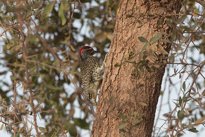 Nubian Woodpecker