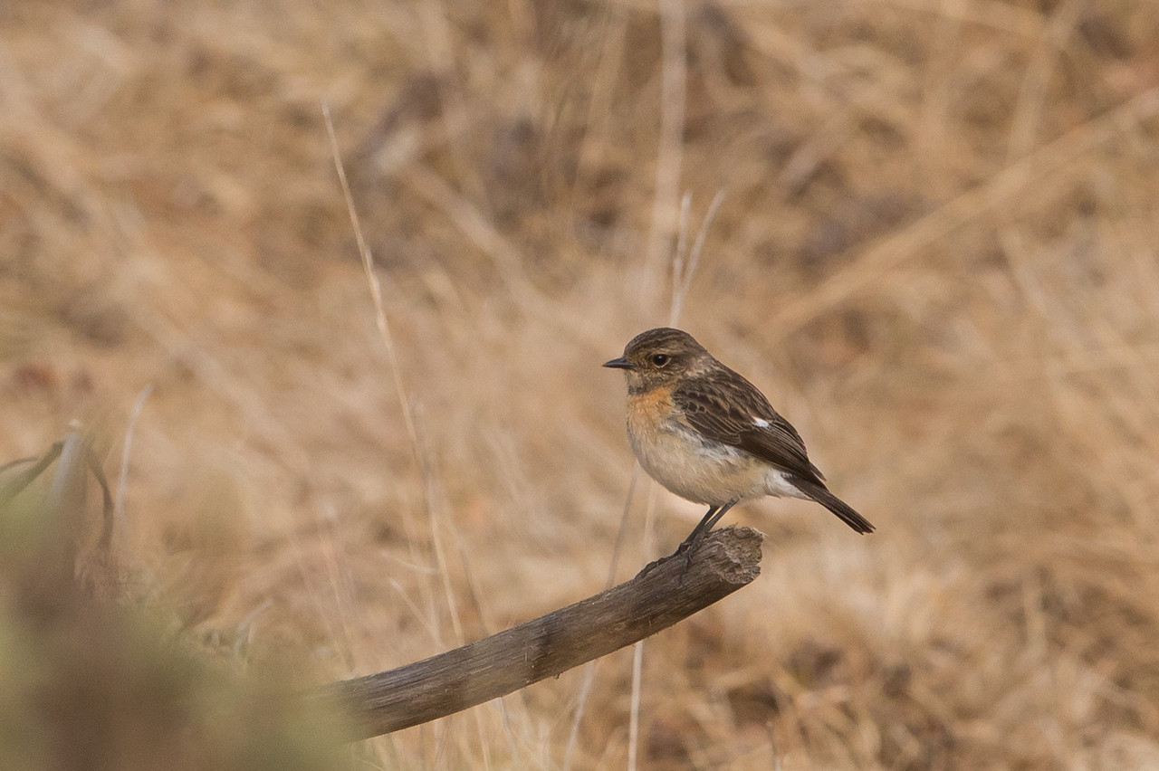 African Stonechat (female)