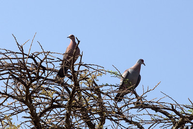 Red-Eyed Dove, Speckled Pigeon