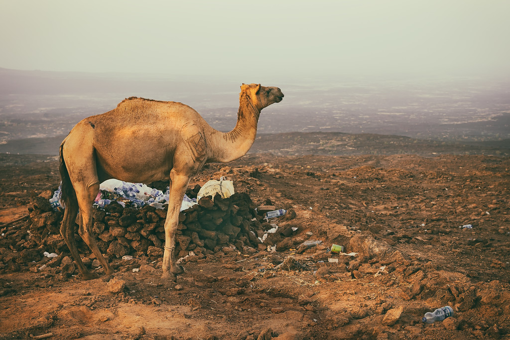 Camel on Guard in the Danakil Depression