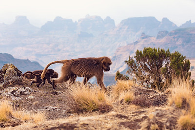endemic Gelada in Simien mountain, Ethiopia