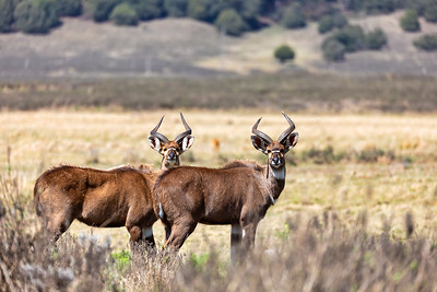 Mountain nyala, Ethiopia, Africa wildlife