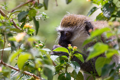 Vervet monkey in Lake Chamo, Ethiopia