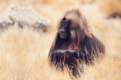 endemic Gelada in Simien mountain, Etiopia
