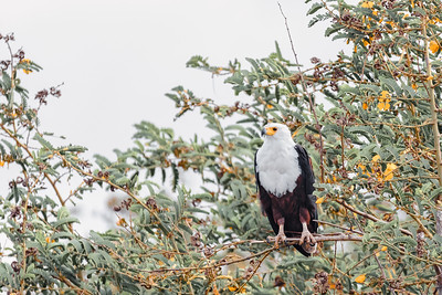 African Fish Eagle Ethiopia Africa wildlife