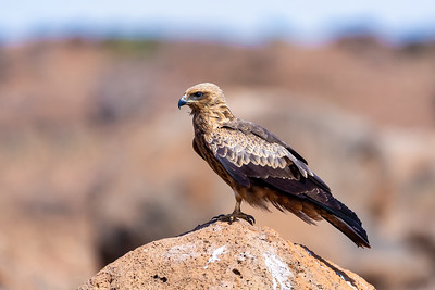 Black kite, Ethiopia safari wildlife