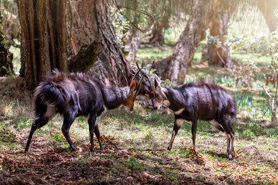 Fighting two male Menelik Bushbuck Bale Mountain, Ethiopia