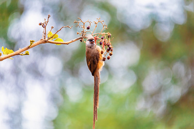 Speckled mousebird, Ethiopia wildlife