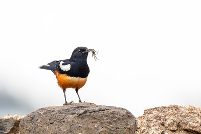 Mocking Cliff Chat in Ethiopia, Africa wildlife