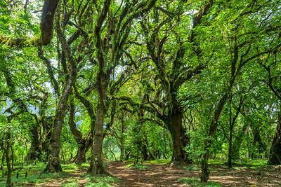 Harenna Forest in Bale Mountains, Ethiopia
