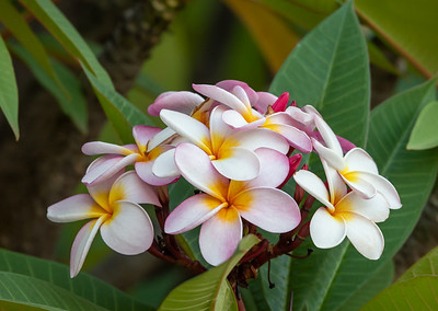 plumeria flower in nature garden