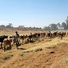 On Bea and Dick's trip out - 130: we saw a farmer herding cattle toward the wetland and Lake Tana