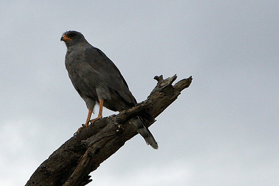 Dark Chanting Goshawk (or could be a pale one)