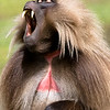 A frequent yawn by the Gelada baboon