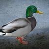 Mallard Duck, High Park