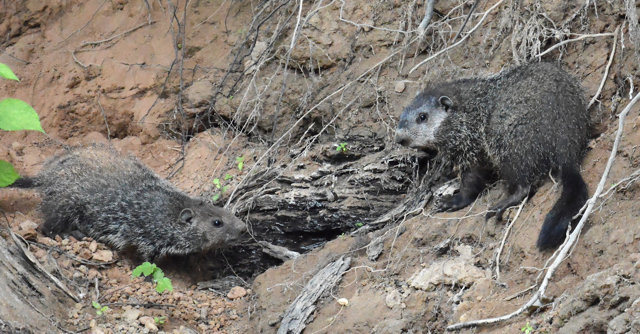 Ground Hogs at their river bank burrow