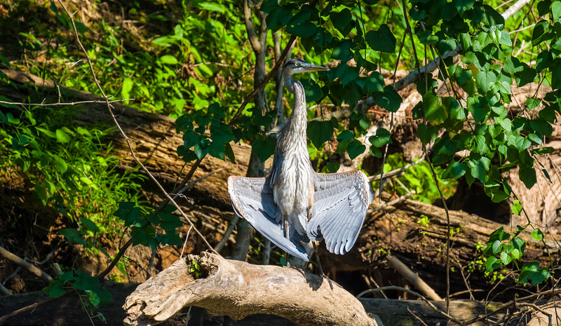 Great Blue Heron sunning wings