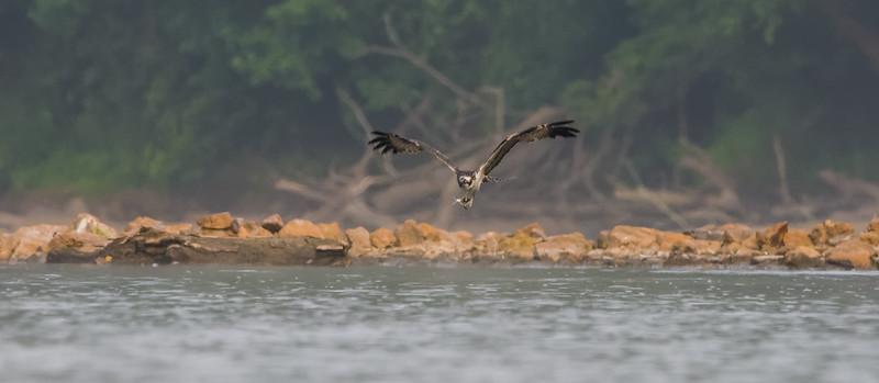Osprey and Shad