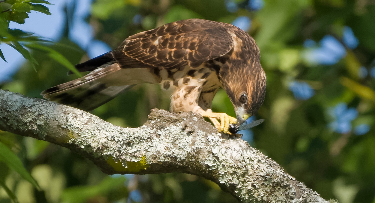 Broad-winged Hawk  1st year light juvenile with Cicada