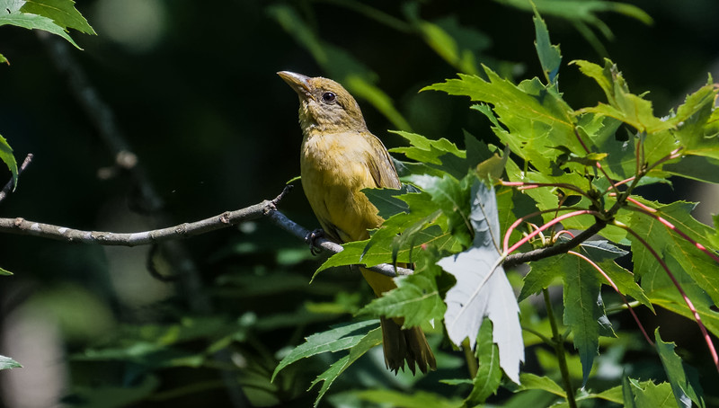 Summer Tanager Juvenile