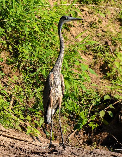 Juvenile Great Blue Heron trying to disappear from sight.