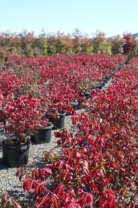 Euonymus a  'Compacta' #10 Fall Color Mass