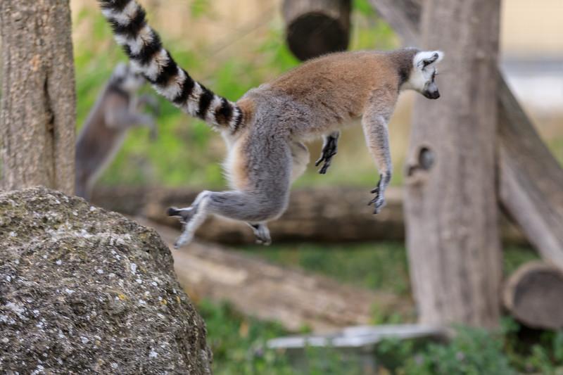 Ring-tailed lemur in the Tiergraten Schönbrunn