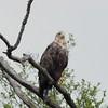 Seeadler-Haliaeetus albicilla-White-tailed Eagle