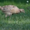 Fasan-Phasianus colchicus w.-Pheasant