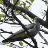 Kuckuck-Cuculus canorus-Common Cockoo