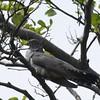Kuckuck-Cuculus canorus-Common Cuckoo
