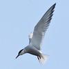 Flussseeschwalbe-Sterna hirundo-Common Tern
