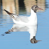 Schwarzkopfmöwe-Larus melanocephalus-Mediterrian Black-headed Gull