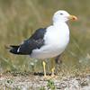 Heringsmöwe-Larus fuscus-Lesser black-backed Gull