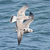 Mantelmöwe juv.-Larus marinus-Great black-backed Gull
