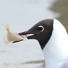 Lachmöwe-Larus ridibundus-Black-headed Gull