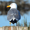 Mittelmeermöwe-Larus michahellis-Yellow-legged Gull