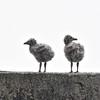 Silbermöwe juv.-Larus argentatus-European Herring Gull