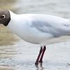 Lachmöwe-Larus ridibundis-Black-headed Gull