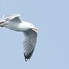 Silbermöwe-Larus argentatus-European Herring Gull