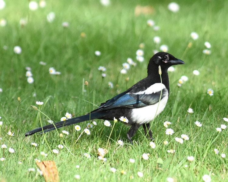 Elster-Pica pica-Magpie