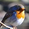 Rotkehlchen-Erithacus rubecula-Robin